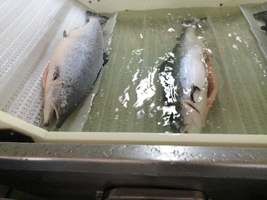 Snowland Salmon pic11