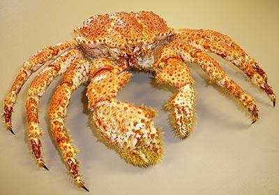 智利雪蟹(南极)